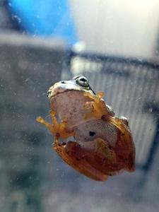 窓にへばりつくカエル